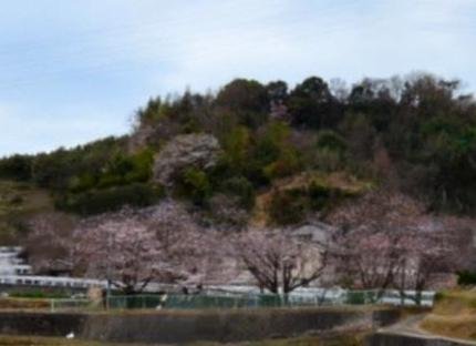 桜トリミング
