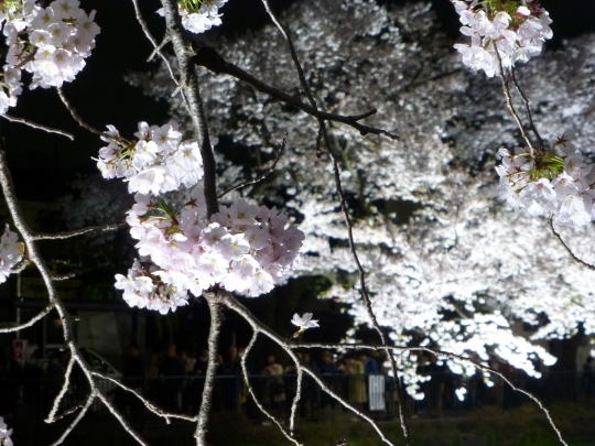 17_04_12-03nogawasakura.jpg