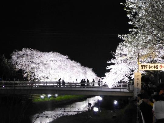 17_04_12-05nogawasakura.jpg