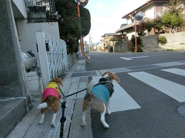 昨日も暖かな1日でした。散歩時,なかよしのてんちゃんと出逢えてご機嫌なワンコ達でした。