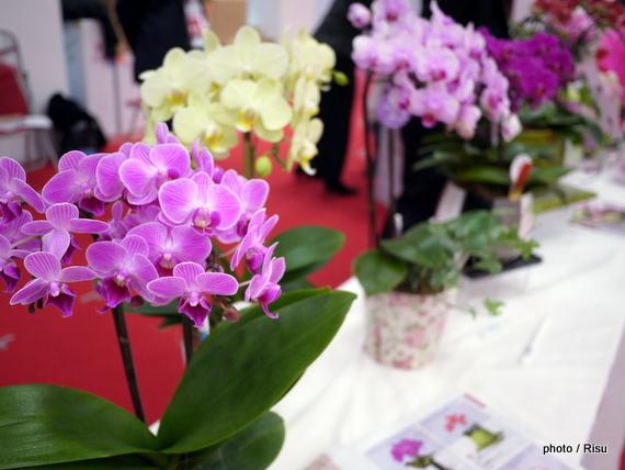 母の日におススメ「ミディ胡蝶らん」は小さくも華やか&育てやすい花鉢です。