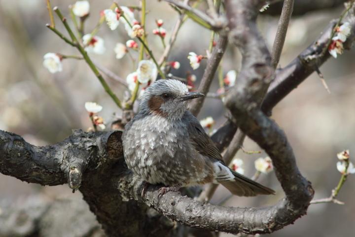 梅にヒヨドリ (1)