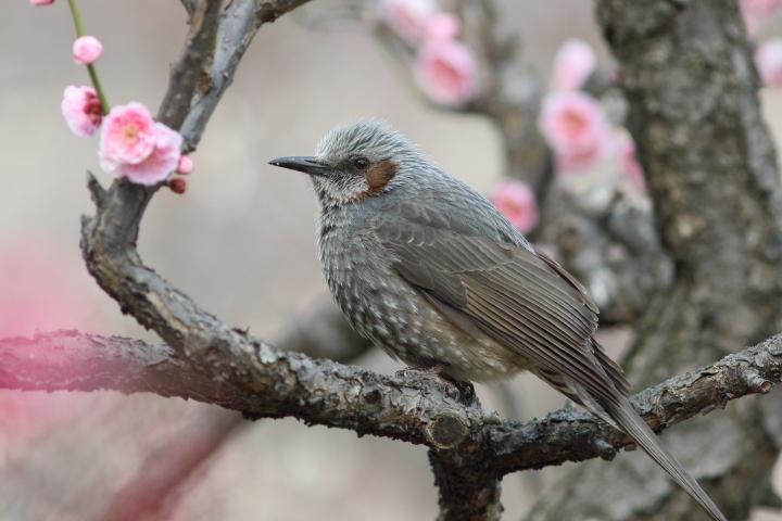 梅にヒヨドリ (2)