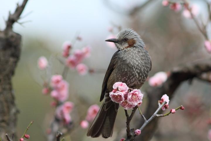 梅にヒヨドリ (4)