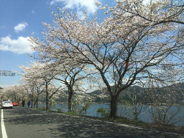 okubiwako-sakura-012.jpg