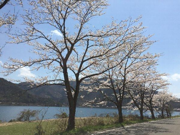 okubiwako-sakura-013.jpg