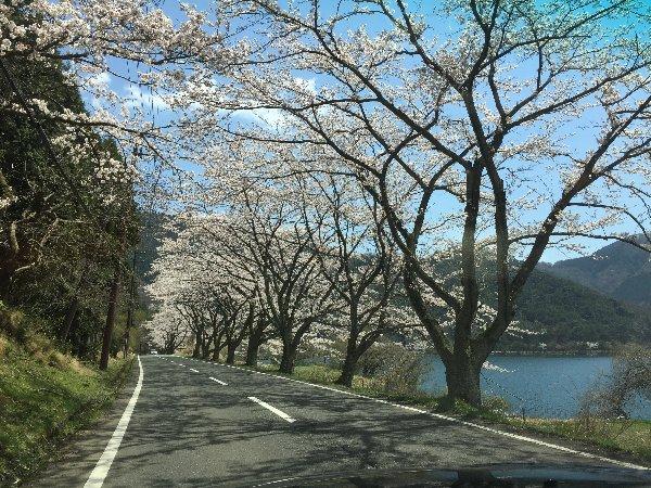 okubiwako-sakura-017.jpg