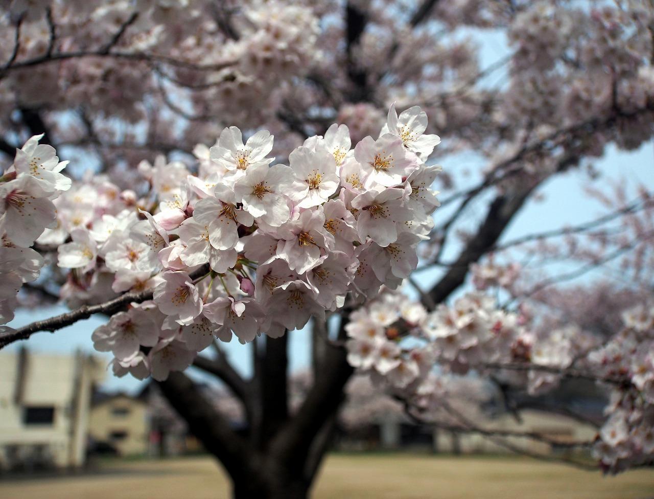 20170408-CherryBlossom-O05.jpg