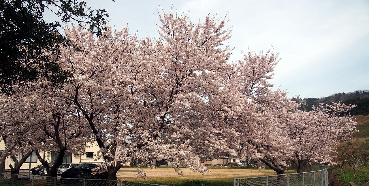 20170408-CherryBlossom-O08.jpg
