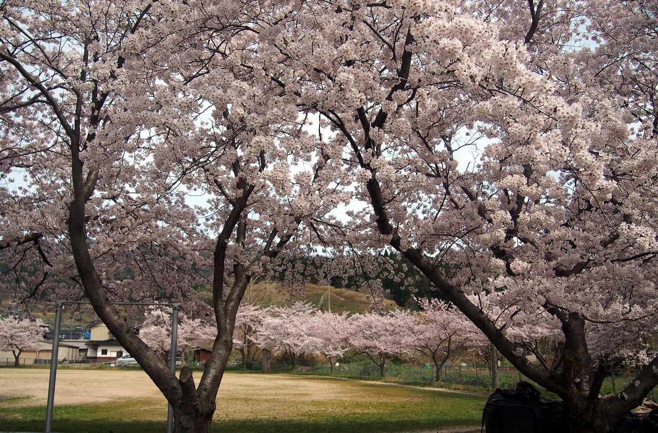 20170408-CherryBlossom-O10.jpg