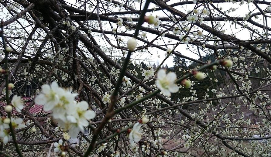 梅の花吹雪の中で