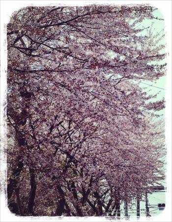 2017年 桜