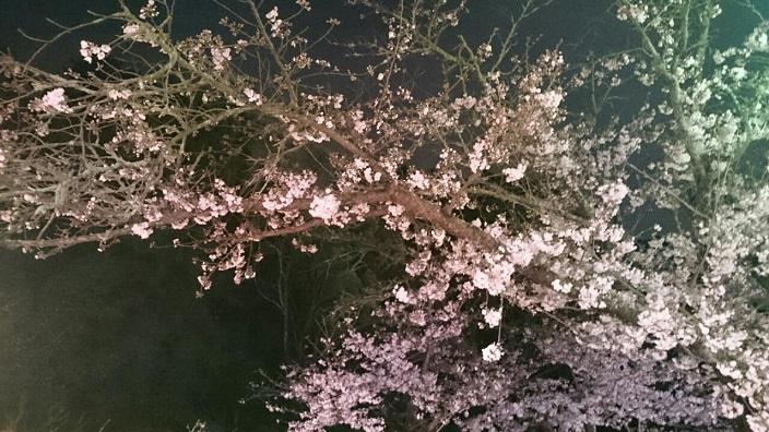 20170408道後公園夜桜②
