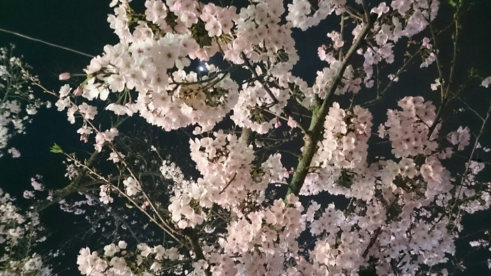 20170408道後公園夜桜③