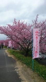 河津桜バスツアー_002
