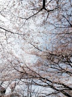 麻生川の桜並木_003