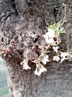 麻生川の桜並木_005
