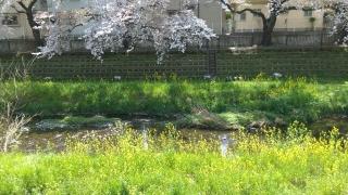 2017野川の桜_001