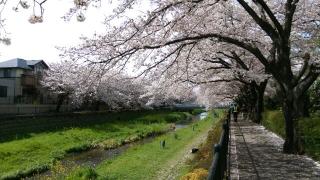 2017野川の桜_002