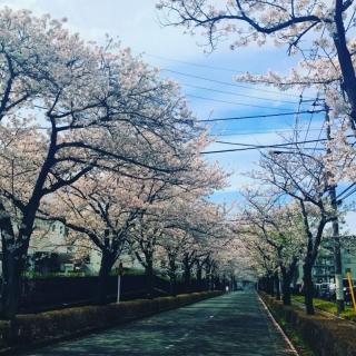 2017桜並木_002