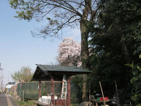 神社と桜2