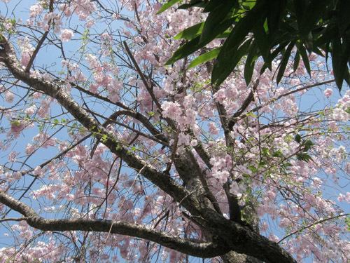 a我が家の桜5