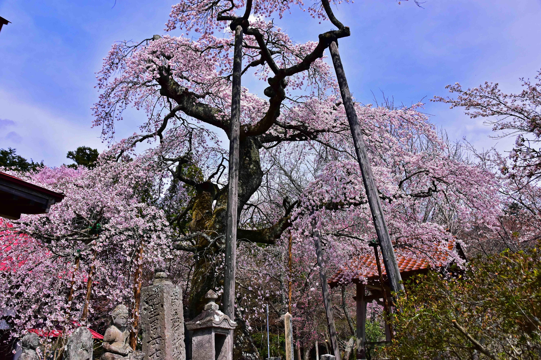 横田 護真寺桜