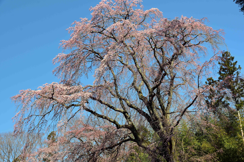 三春城 大手の桜