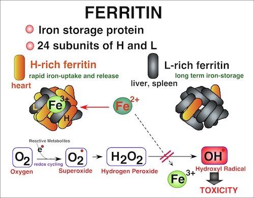 ferritin.jpg
