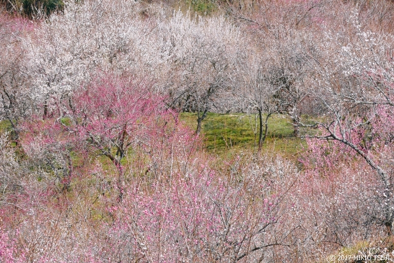 絶景探しの旅 - 0140 春の訪れ 高尾梅郷 (大下沢梅林/東京都 八王子市)