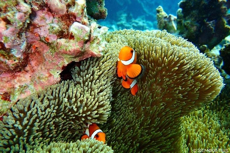 絶景探しの旅 - 0160 珊瑚礁の海のイソギンチャクとカクレクマノミ (中の島ビーチ/沖縄県 宮古島市 下地島)