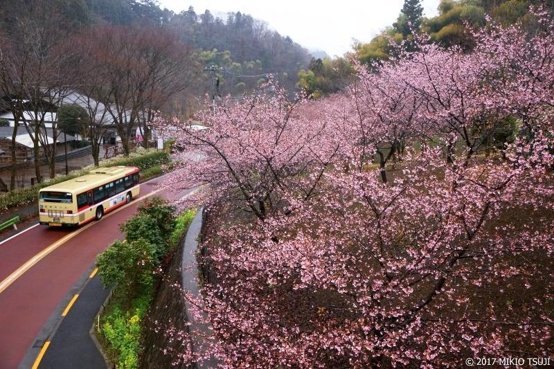 絶景探しの旅 - 0169 雨の山里に咲く京都・醍醐寺のクローン河津桜 (東京都 八王子市)