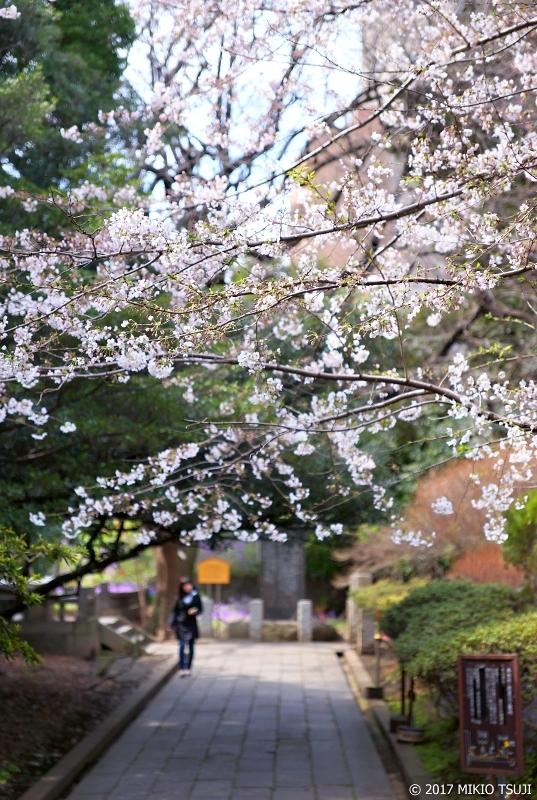 絶景探しの旅 - 0180 湯島聖堂 桜の花の通り抜け (御茶ノ水駅界隈/東京都 文京区)