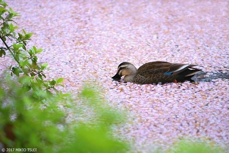 絶景探しの旅 - 0183 花筏とカルガモ (井の頭恩賜公園/東京都 武蔵野市)