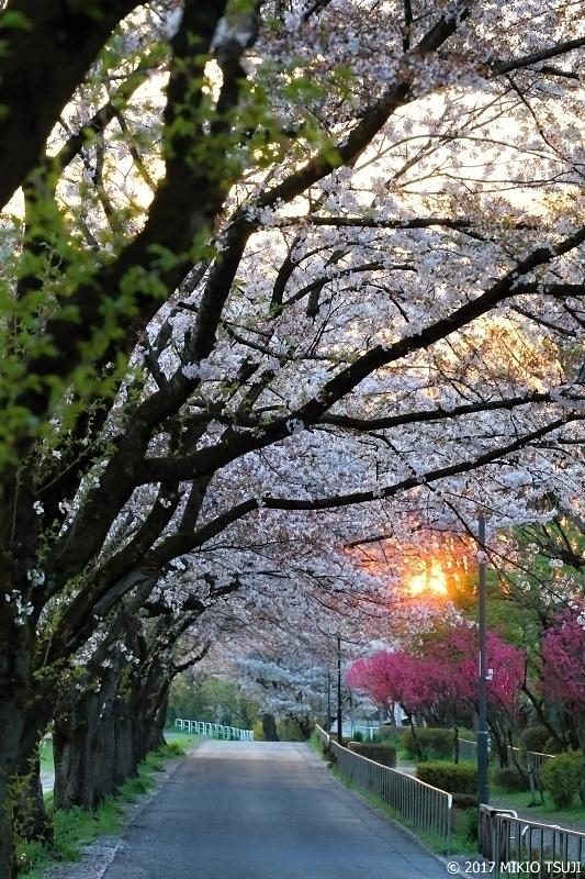 絶景探しの旅 - 0192 朝に燃ゆ!桜の南浅川緑道  (東京都 八王子市)