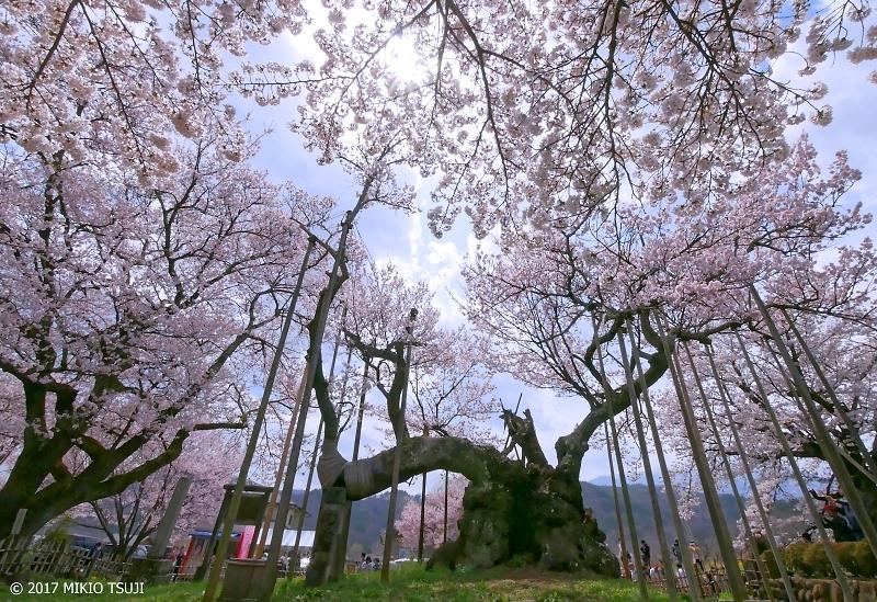 絶景探しの旅 - 0191 満開の山高神代桜 樹齢2000年といわれる日本三大桜の銘木 (山梨県 北杜市)